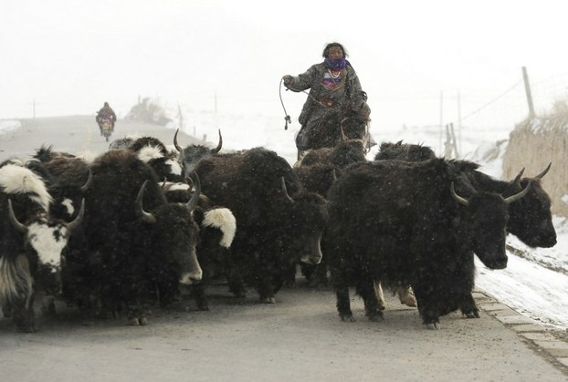 A Tibetan herder woman rounds up her herd of yak in Golog Tibetan Autonomous Prefecture, in northwest China's Qinghai province, March 8, 2012. (Photo courtesy: RFA)