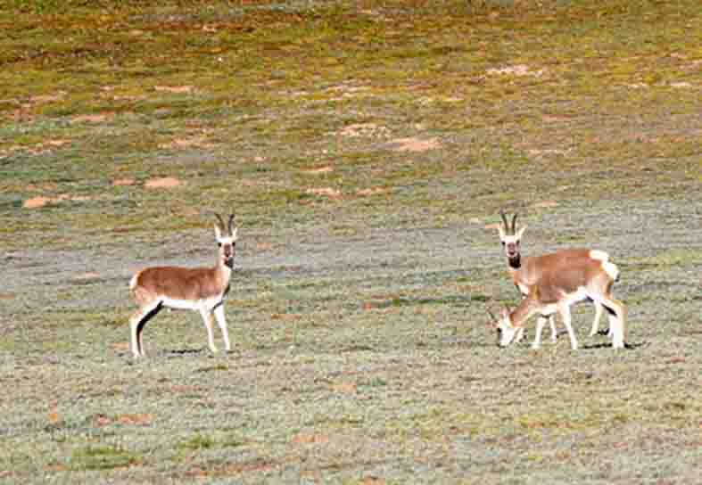 Mongolian gazelles in the Yushu Tibetan autonomous prefecture, Qinghai province. (Photo courtesy: Xinhua)