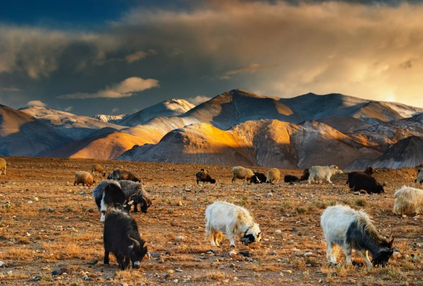 Tibetan landscape with grazing sheep and goats. (Photo courtesy: LiveScience)