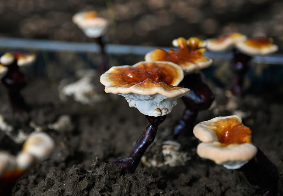 White lingzhi mushroom which grows in a village of Nyingchi city in Tibet.  (Photo courtesy: /Xinhua)