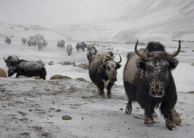 Thousand of livestock, hundreds of wild lives killed in Tibet's Yulshul snowstorms