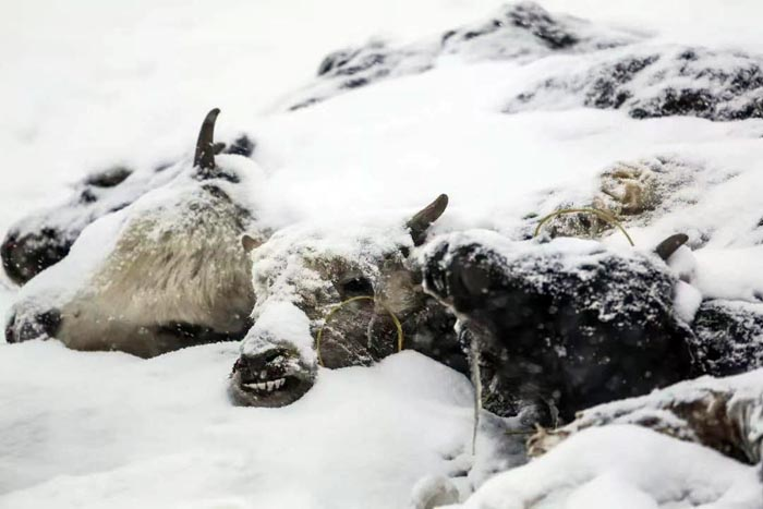Snowstorms affect 120,000 people, over 1 million livestock in Qinghai