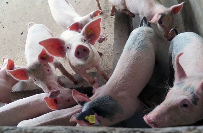 African swine outbreak reported in Qinghai