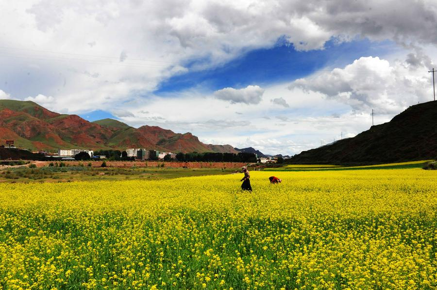 China maps 1,340 plants in Qinghai for use in its traditional medicine