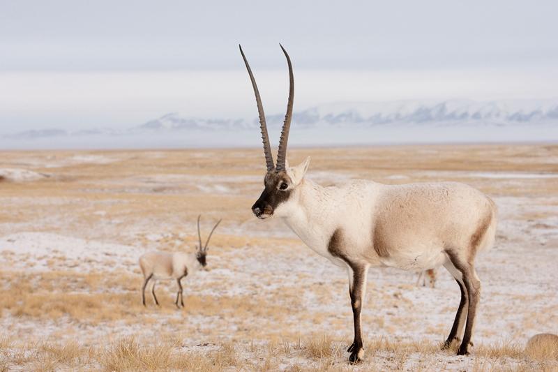 Ngari seizures suggest large-scale Tibetan antelope hunting